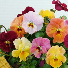 【予約販売】【花苗】ビオラおちあいけいこ花絵本ミニマンゴー
