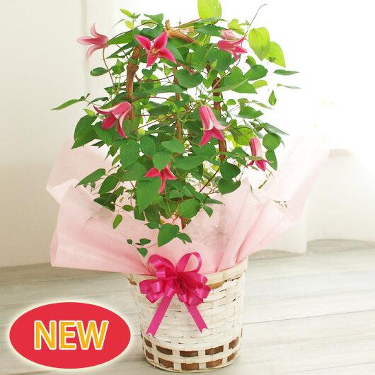 【母の日】クレマチスプリンセスダイアナ鉢花