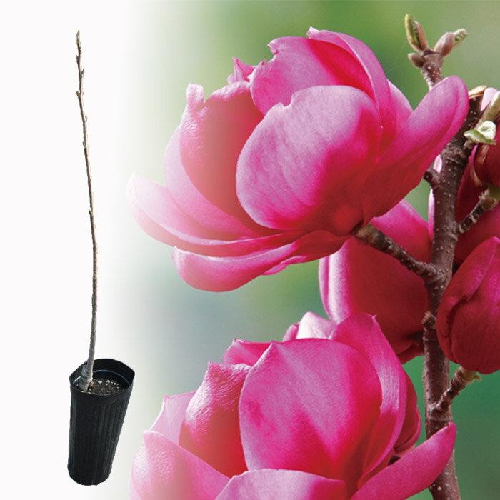 最高傑作のモクレン クレオパトラ【珍しい植木】【おすすめ】