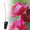 最高傑作のモクレン クレオパトラ【珍しい植木】2020年の花芽あり