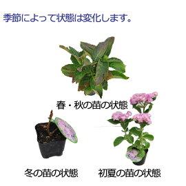 アジサイユーミーシリーズユーミーヴァージン【コンパクトアジサイ】