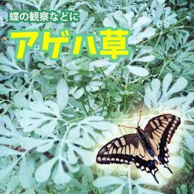【入荷】アゲハチョウの餌 アゲハソウ アゲハ蝶 飼育1POT【1000POT以上の出荷実績!!】お届けは5月中旬から