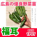 野菜苗 トウガラシ 福耳 苗 1POT【予約苗】【納期指定不可】
