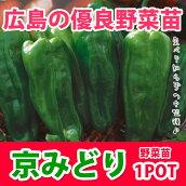 野菜苗ピーマン京みどり実生