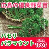 野菜苗パセリパラマウント苗