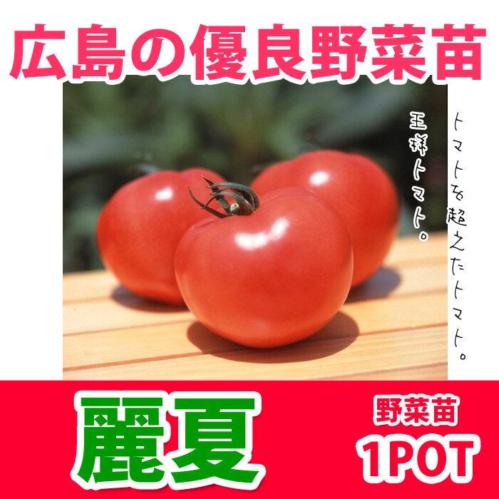 野菜苗 トマト 麗夏 れいか 実生苗 1POT【販売期間終了間近!】【納期指定不可】