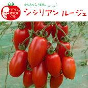 野菜苗ミニトマトシシリアンルージュ苗