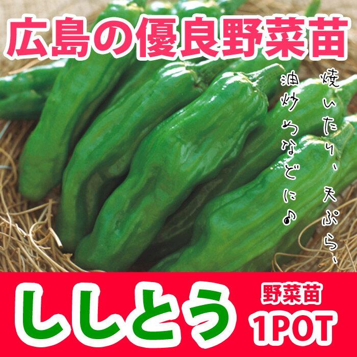 野菜苗 トウガラシ ししとう シシトウ 実生 1POT【販売期間終了間近!】【納期指定不可】