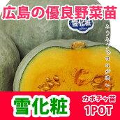 野菜苗カボチャ雪化粧実生苗