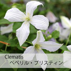 クレマチス【苗】ビチセラペペリル・プリスティン白系