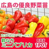 野菜苗ピーマン鈴なりパプリカカラフルミニパピーレッド苗