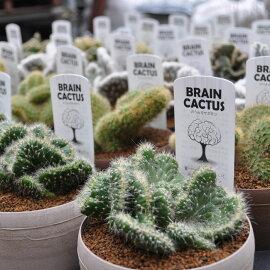 【サボテン】【多肉植物】【アインシュタインの脳】
