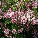 ライラックピンクパフューム 非常に珍しい四季咲き性
