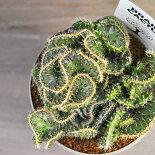 【サボテン】【多肉植物】【アインシュタインの脳】【脳みそサボテン】ランセオラータ綴化