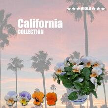 【限定予約販売ビオラ】プレミアムビオラカルフォルニアコレクション苗選べる4色3POTset
