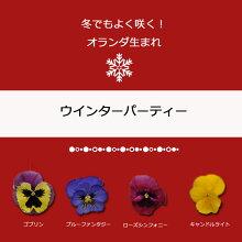 【限定予約販売ビオラ】プレミアムパンジーウィンターパーティー苗選べる4色3POTset