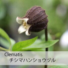 クレマチス苗チシマハンショウヅル紫系