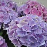 【花鉢】秋色アジサイ西安(シーアン)