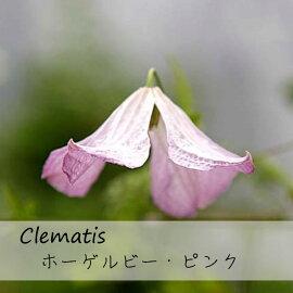 クレマチス【苗】ビチセラホーゲルビ・ピンクピンク系