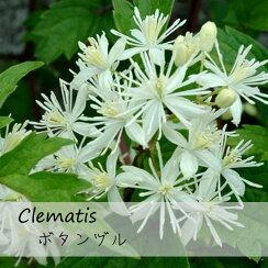 クレマチス【苗】ビタルバボタンヅル白系