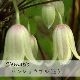 クレマチス【苗】ベバエンセラハンショウヅル(白)白系