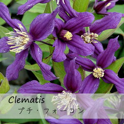 クレマチス【苗】インテグリフォリアプチ・フォーコン青・紫系