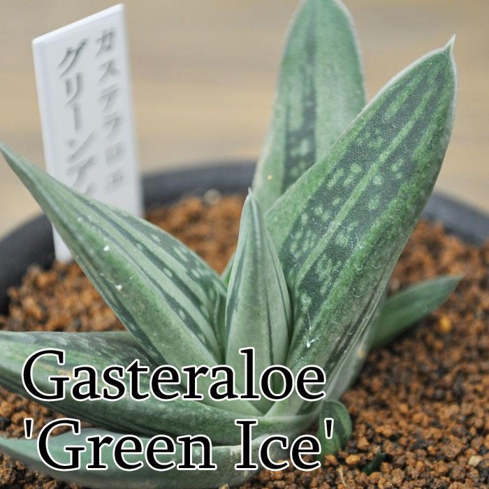 【観葉植物】【多肉植物】ガステラロエ グリーンアイス