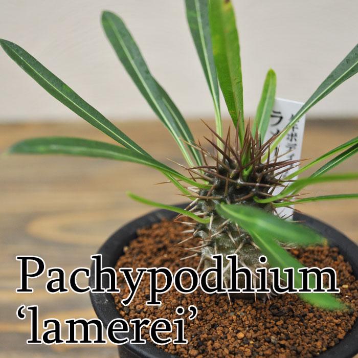 【観葉植物】【多肉植物】パキポティウム ラメリー