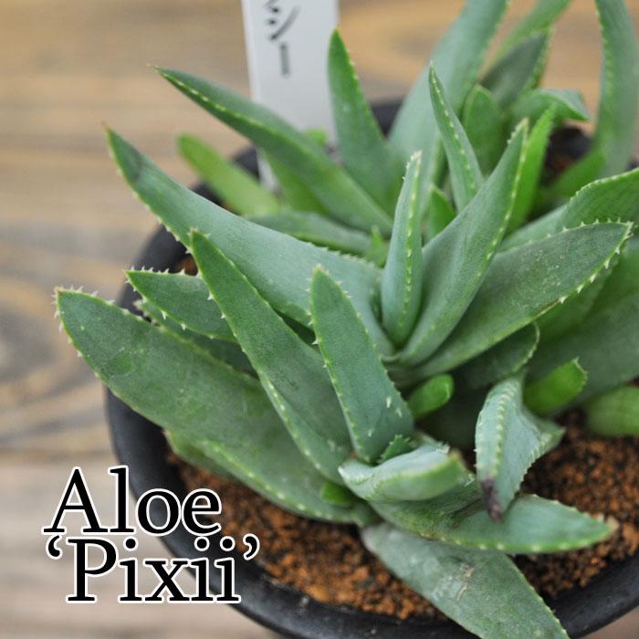 【観葉植物】【多肉植物】アロエ ピクシー
