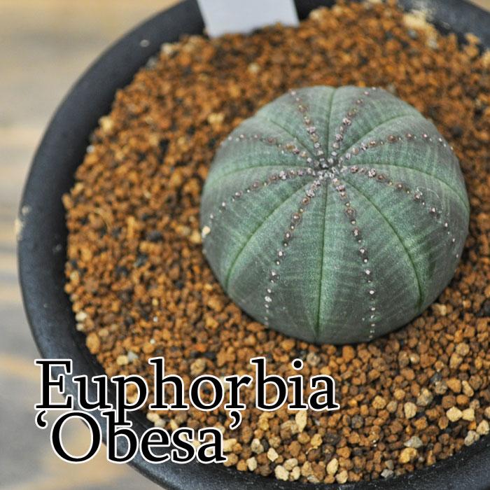 【観葉植物】【多肉植物】ユーフォルビア オベサ