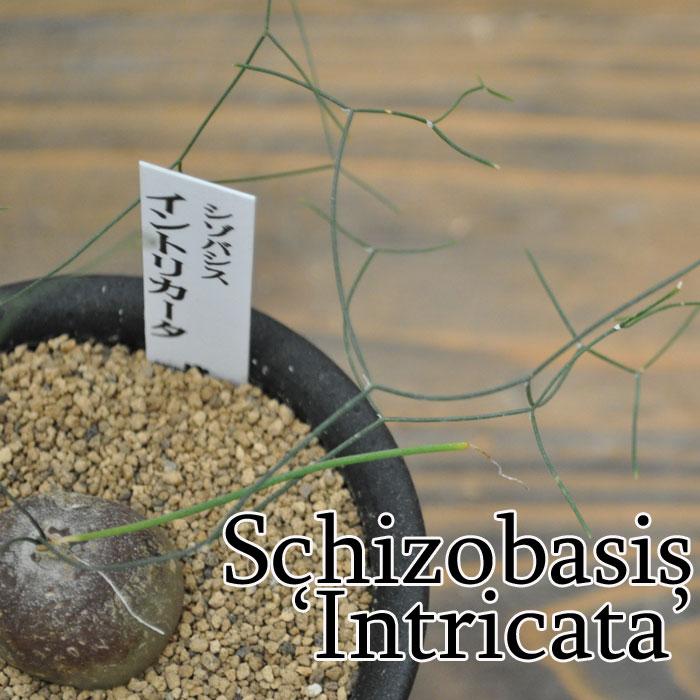 【観葉植物】【多肉植物】シゾバシス イントリカータ