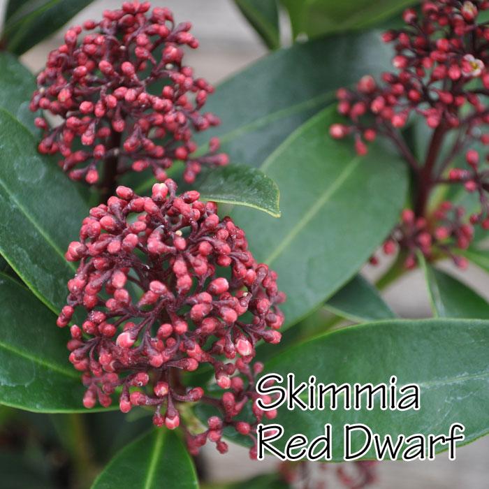 【常緑低木】スキミア レッドドワーフ Sukimmia 'Red Dwarf' 4号 シキミア
