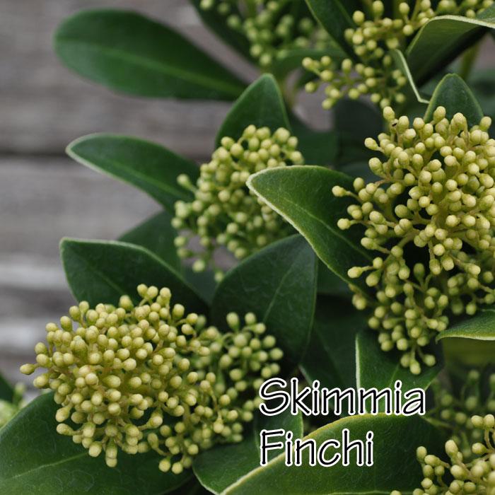 【常緑低木】スキミア フィンチ Sukimmia 'finchy' 4号ロング