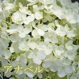 【落葉低木】アナベル白花アジサイ
