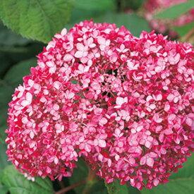 アジサイ苗 ピンクアナベル2 アメリカアジサイ 珍しいピンク 改良アナベル