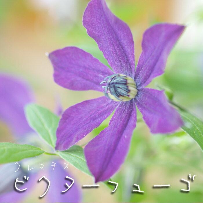 【在庫わずか!】クレマチス 苗 インテグリフォリア ビクター ヒューゴ 青 紫系