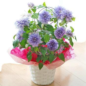 クレマチスデニーズダブル鉢花【母の日ギフト】