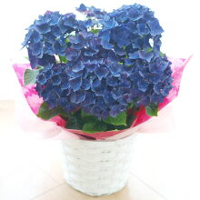 【花鉢】アジサイディープパープル