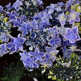 【送料無料】アジサイ「万華鏡銀河」鉢花【早期予約受付】