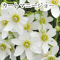 クレマチス【苗】オセアニアカートマニージョー白系