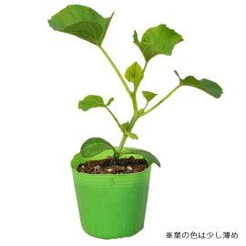 野菜苗ネットメロンベランダdeメロン接木苗1POT【2018年予約苗】【納期指定不可】