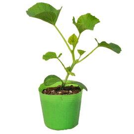 野菜苗メロンキューピットメロン接木苗1POT【2018年予約苗】【納期指定不可】