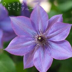 クレマチス【苗】パテンスミゼット・ブルー青・紫系