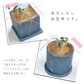 平和のシンボルオリーブの鉢植え【観葉】【ギフト】【自分用】【送料無料・北海道発送不可・東北別途送料500円】