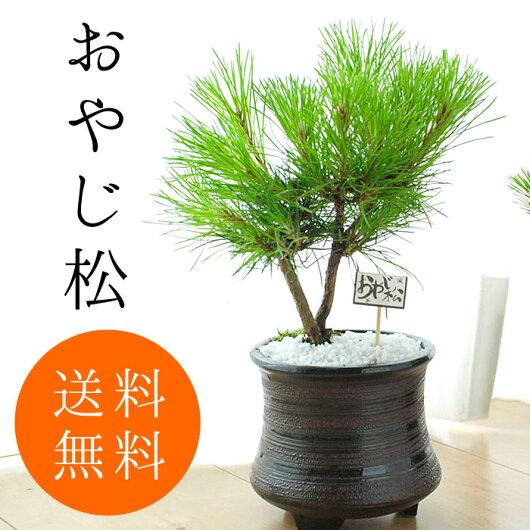 黒松盆栽お試しミニ盆栽黒松簡易説明つき【和観葉植物松盆栽ミニ盆栽bonsai盆栽入門初心者ボンサイ】