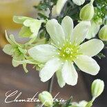 クレマチス【苗】オセアニアペトリエイ白系常緑性