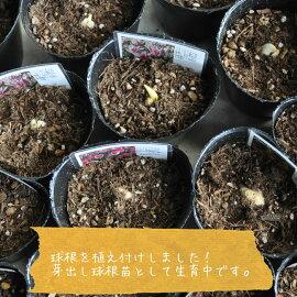 【球根苗】【秋植え】【希少】プレミアムチューリップピンクフェザー1苗1球(9cmPOT)×1個