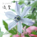クレマチス 苗 インテグリフォリア 流星 青・紫系 2年生苗 500鉢以上の出荷実績