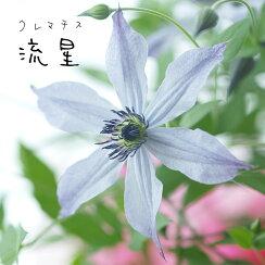 クレマチス【苗】インテグリフォリア流星ピンク系