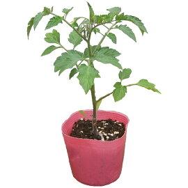 野菜苗トマトプリンセスロゼ苗1POT